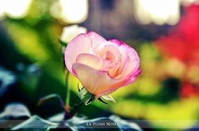 9 Rose