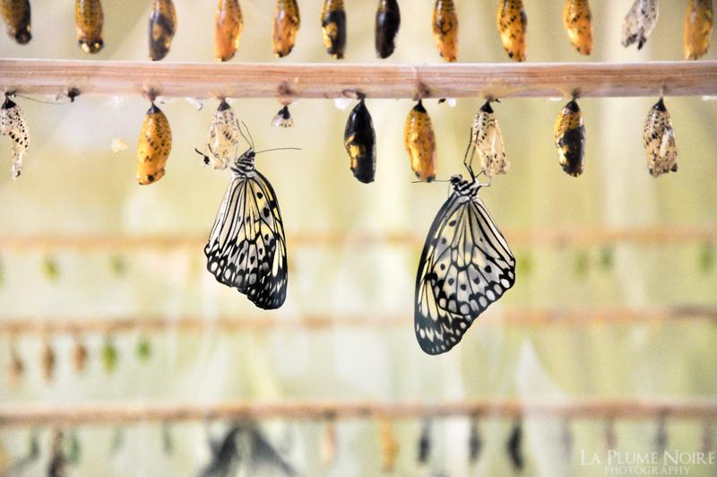 Butterfly Pupa