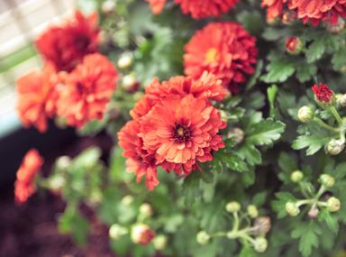 WW - Chrysanthemums
